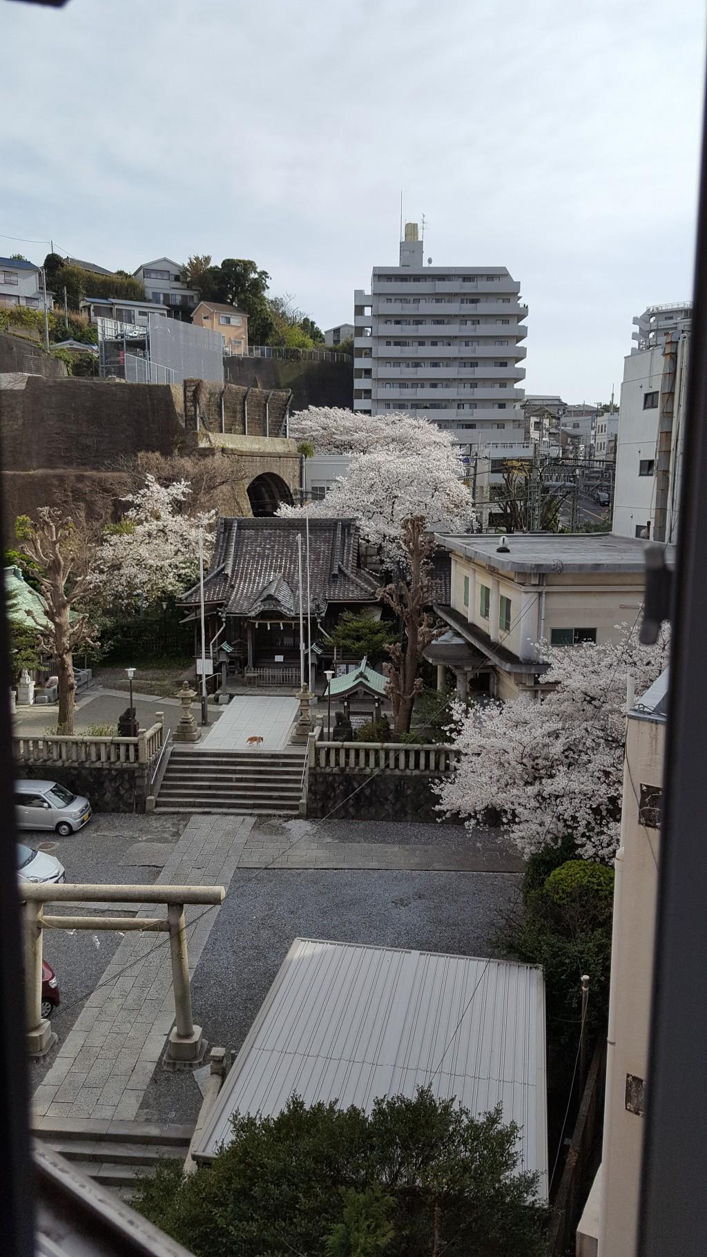 換気のため開けている窓からお隣の諏訪神社の桜が見えます。